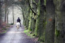 Row Of Beech Trees And Woman O...