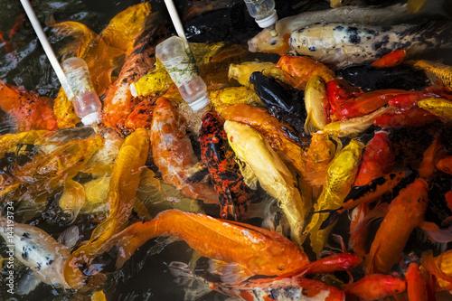 Obraz na płótnie Feeding Koi goldfish using a baby bottle in Chengdu China