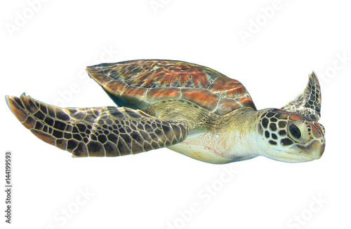 Sea Turtle isolated on white background