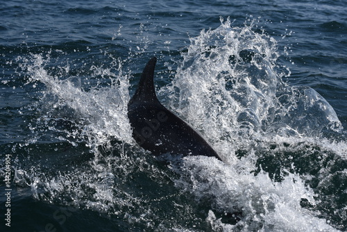 dauphins en ballade devant saint malo Canvas Print
