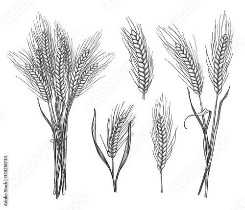 Fototapeta Wheat ear hand drawn sketch set vector illustration. Rice, wheat, oats, rye or barley cereals ear pencil sketches isolated on white background. Organic agriculture, bakery shop, natural harvest symbol obraz