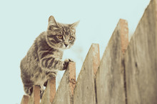 Fluffy Gray Cat Walking On A Old Wooden Fence.
