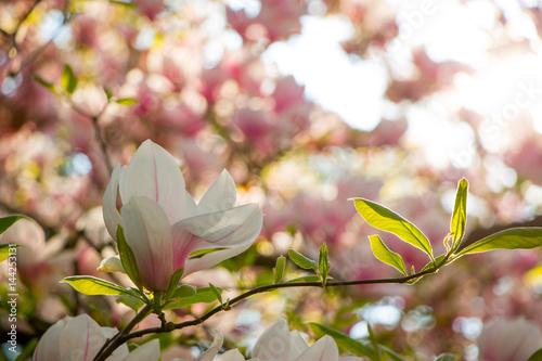 Obrazy wieloczęściowe różowa magnolia na jasnym tle