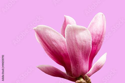 Plakat kolorowy różowy magnolia i światło słoneczne, na białym tle