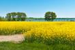Rapsblüte auf Insel Poel an der deutschen Ostseeküste, Wismarer Bucht, süßer Honigduft in warmer Frühlingsluft, Agrarwirtschaft