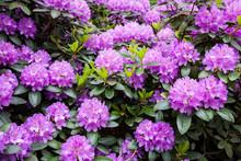 Rhododendron Flower Bush Bloom...