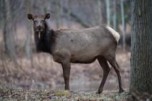 Wet Cow Elk Standing Beside Tr...