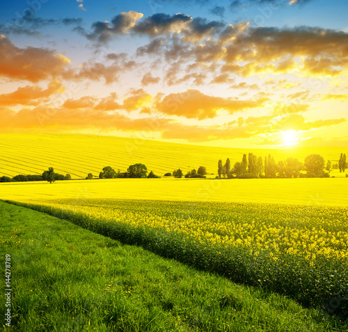 Poster Miel Spring landscape with rapeseed field at sunset.