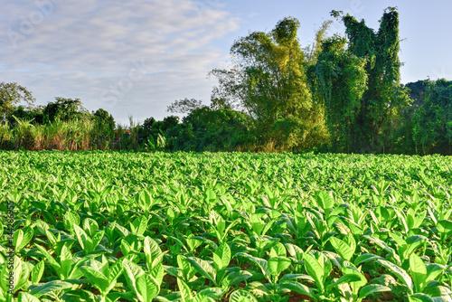 Photo  Tobacco Field - Vinales Valley, Cuba