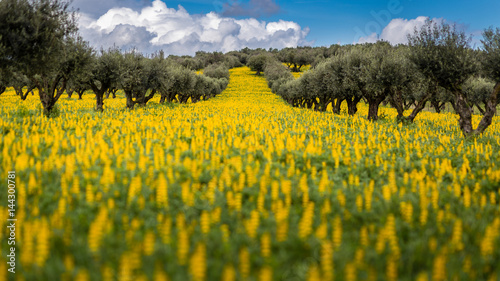 Olive Trees in a field of yellow Lupine flowers (Lupinus luteus) against cloudy Wallpaper Mural