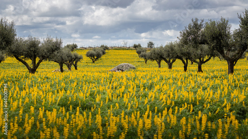 Photo Olive Trees in a field of yellow Lupine flowers (Lupinus luteus) against cloudy