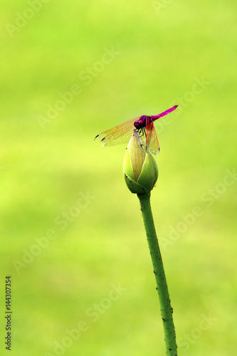 Dragonfly Stand on Lotus Flower