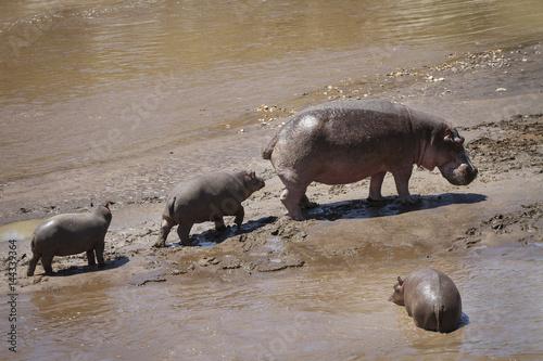 Fényképezés  tre ippopotami