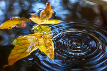 Autumn Mood. Yellow Leaves In Water