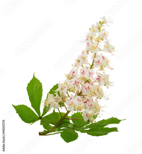 Horse-chestnut (Aesculus hippocastanum, Conker tree) flowers isolated. without shadow