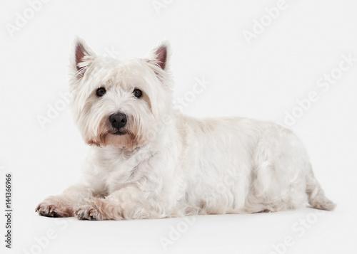 Fototapeta Dog. West Highland White Terrier on white background obraz