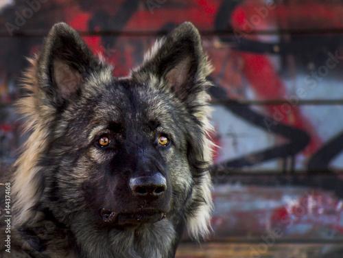 Poster Dog oud duitse herders hond
