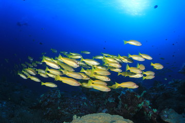 Fototapeta na wymiar School of Snapper fish in ocean