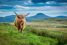 Grazing Highland Cow In Isle O...