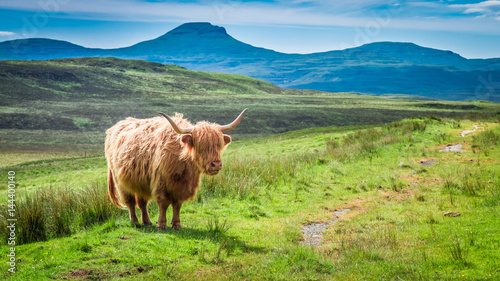 Spoed Fotobehang Schotse Hooglander Brown highland cow in Scotland in UK