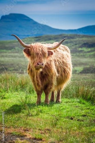 Spoed Fotobehang Schotse Hooglander Furry highland cow in Scotland in UK