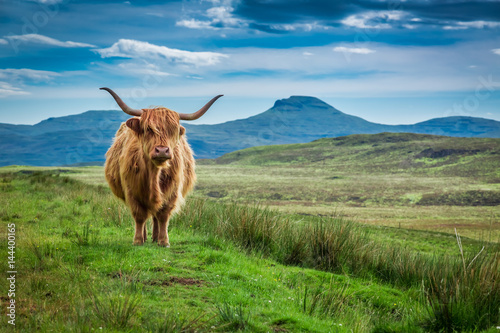 Grazing highland cow in Isle of Skye in Scotland