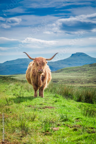 Spoed Fotobehang Schotse Hooglander Furry highland cow in Isle of Skye in Scotland
