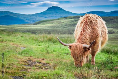 Spoed Fotobehang Schotse Hooglander Grazing highland cow in Scotland in United Kingdom