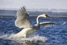 Swan Landing Splash 1