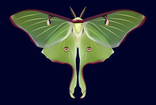 Beautiful Luna Moth (Actias L...