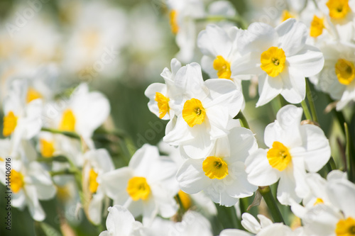 Photo sur Aluminium Narcisse スイセンの花