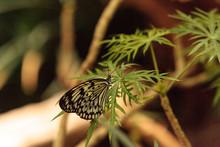 Paper Kite Butterfly, Idea Leuconoe