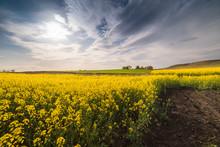 Yellow Oilseed Rape Field Unde...