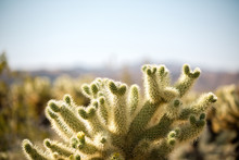 Cholla Cactus In Joshua Tree N...