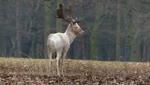 Grace White Deer In The Forest Standing And Moving In Slow Motion.