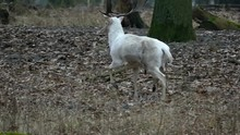 White Deer With Horns Running In The Woods In Slow Motion.