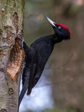 Name Black Woodpecker