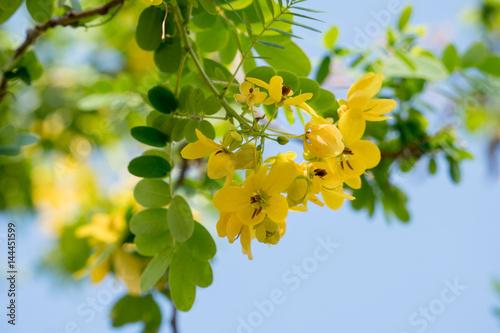Fotografia  Cassod tree; Cassia siamea with flower
