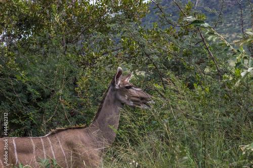 Greater kudu  Tragelaphus strepsiceros
