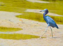 A Little Blue Heron (Egretta C...