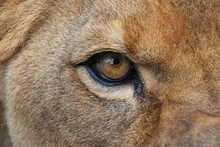 Eye Of The Lioness Extreme Clo...