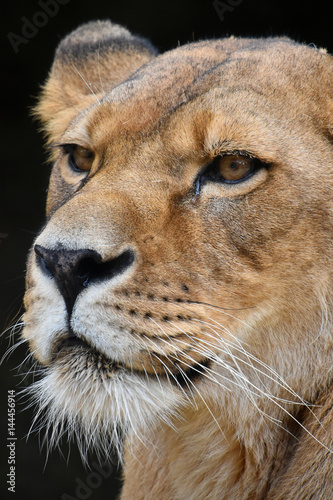 Fototapety, obrazy: Close up side portrait of female African lioness