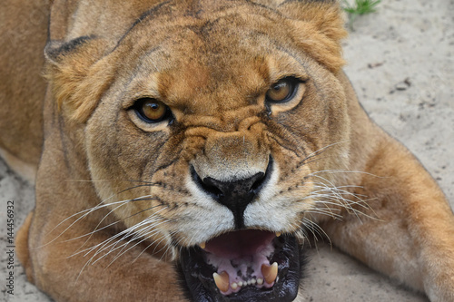 Foto  Close up portrait of angry furious lioness roar