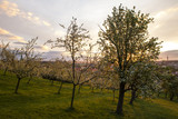 Fototapeta Sawanna - Blooming orchard in the old town of Prague on Petrin Hill in spring
