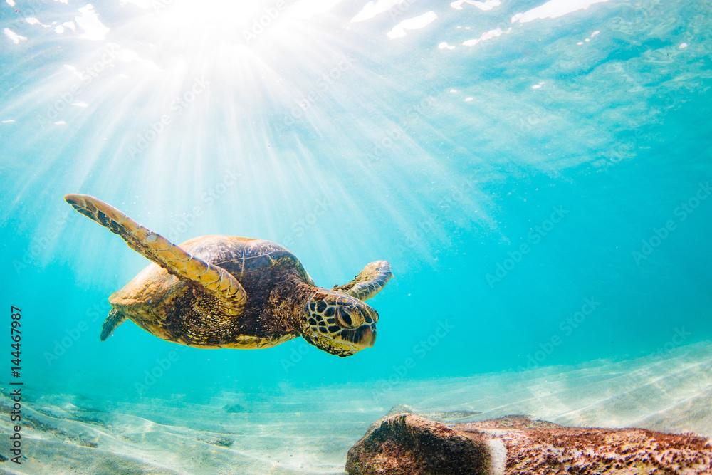 Láminas  Endangered Hawaiian Green Sea Turtle Cruising in the warm waters of the Pacific