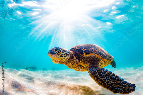Keuken foto achterwand Schildpad Endangered Hawaiian Green Sea Turtle Cruising in the warm waters of the Pacific Ocean