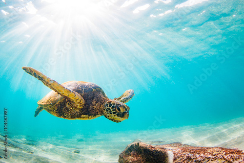 Photo  Endangered Hawaiian Green Sea Turtle Cruising in the warm waters of the Pacific