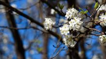 Bradford Pear Tree Blooms In S...