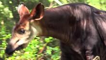 Okapi Walking In Forest Park.