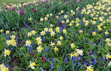 Yellow Daffodils And Blue Grape Hyacinths